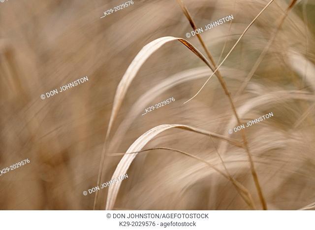 Bearded shorthusk grass (Brachyelytrum erectum) Leaves in late autumn, Greater Sudbury (Lively), Ontario, Canada