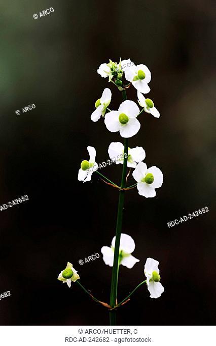 Lance-leaved Arrowhead Florida USA Sagittaria lancifolia ssp. lancifolia Bulltongue Arrowhead Duck Potato
