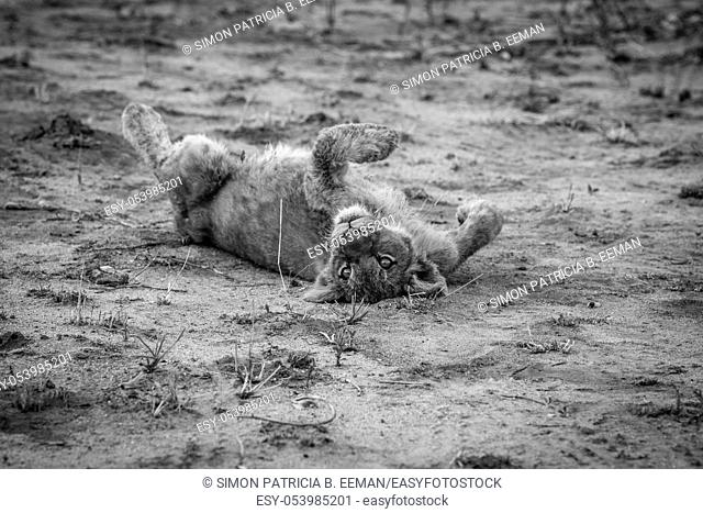 Lion cub laying in the dirt in black and white in the Sabi Sabi game reserve, South Africa