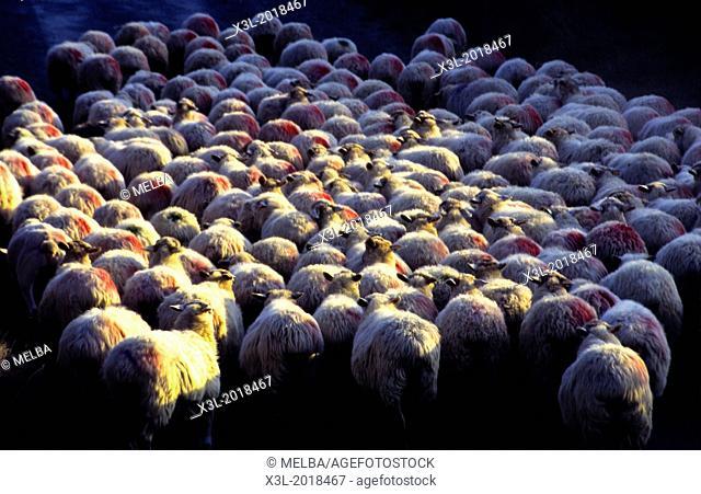 Sheeps. France