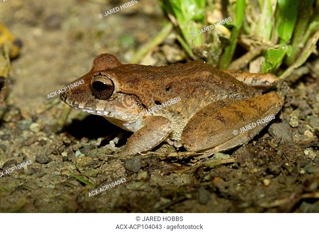 white-lipped frog, unidenfied species, Costa Rica, Central America