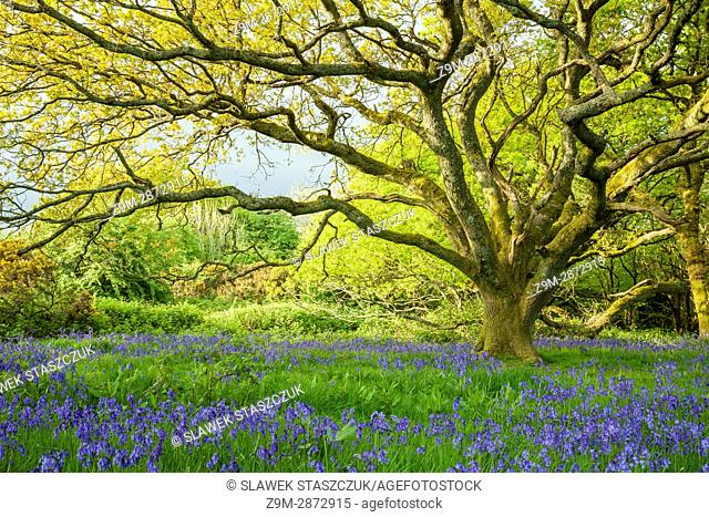 Bluebells in an oak copse near Brighton, East Sussex, England. South Downs National Park