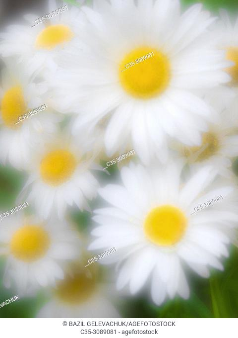 white daisy photographed with monocle