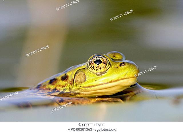 Mink Frog (Rana septentrionalis), West Stoney Lake, Nova Scotia, Canada
