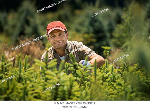 A man wearing protective gloves clipping and pruning a crop of conifers, pine trees in a plant nursery