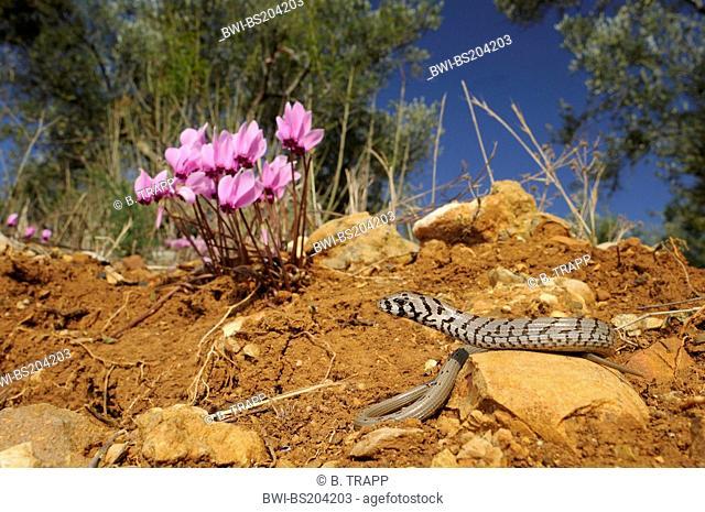 European glass lizard, armored glass lizard (Ophisaurus apodus, Pseudopus apodus), juvenile in front of cyclamen (Cyclamen graecum), Greece, Peloponnese