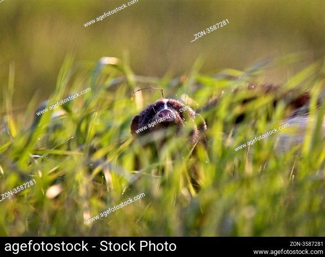 Baby Skunk at den young peeking Canada