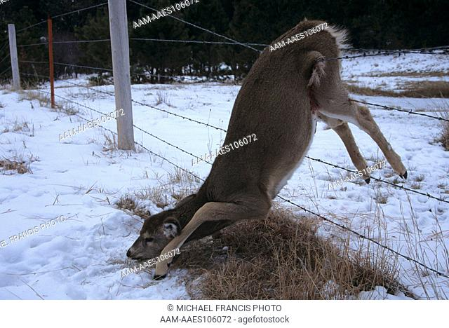 Whitetail Deer, Dead Young caught in Barbed Wire Fence, Wyoming (Odocoileus virginianus)