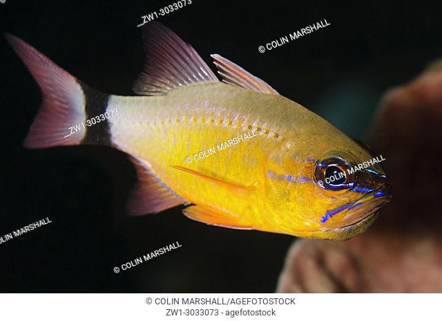 Ringtailed Cardinalfish (Ostorhinchus aureus), Bulakan dive site, Seraya, Bali, Indonesia