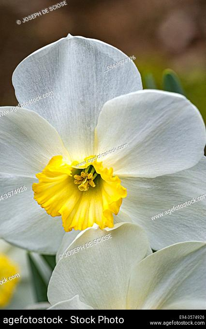 Close up of a daffodil flower