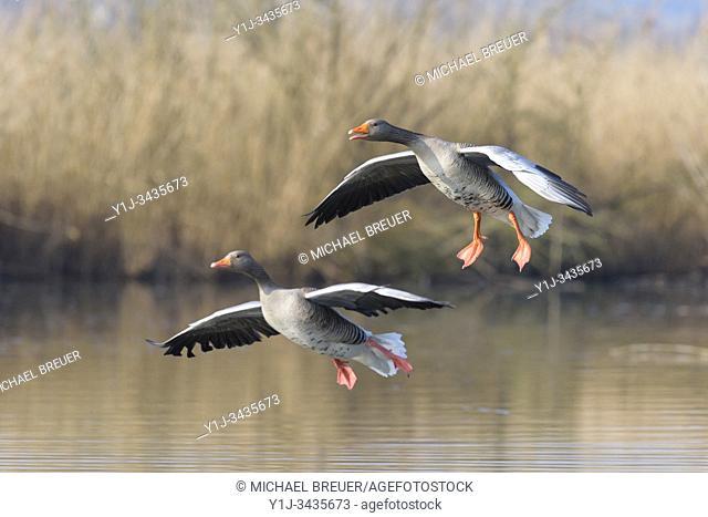 Landing Greylag Geese, Anser anser, Hesse, Germany, Europe