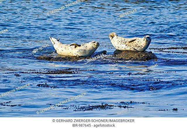 Steller or Northern Sea Lion (Eumetopias jubatus) on rocks, Oregon, USA