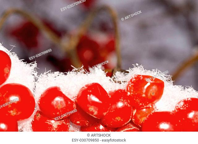 Close up of red rowan berries with ice crystals, winter hoarfrost