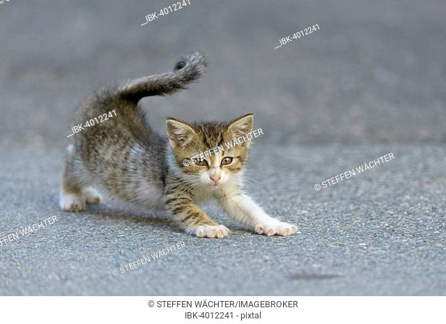 Domestic Cat (Felis silvestris f. catus) kitten stretching on street, Bavaria, Germany
