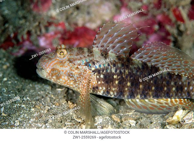 Beautiful Goby (Exyrias bellismus), Bianca dive site, Lembeh Straits, Sulawesi, Indonesia