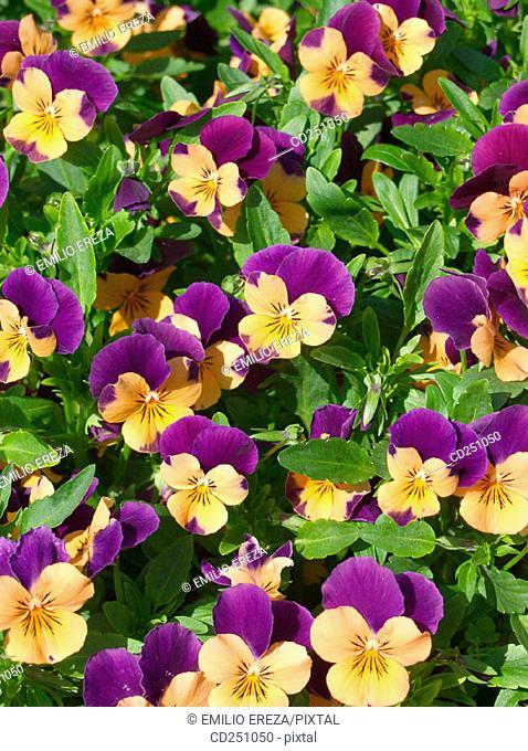 Pansies (Viola sp.)