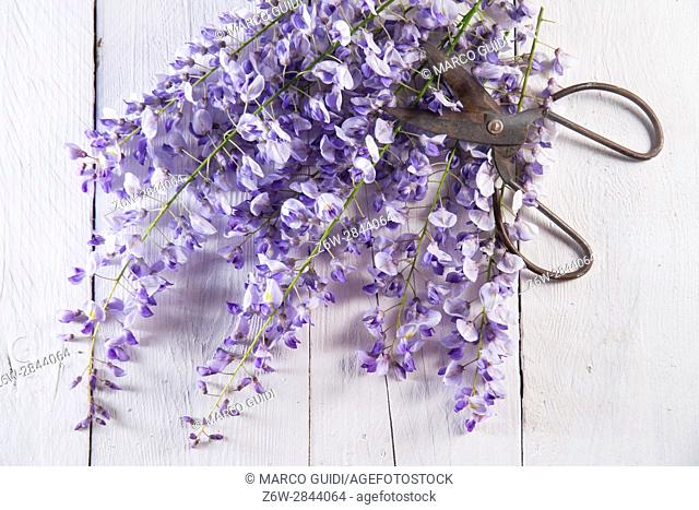 The flower wisteria presented on background in white wood