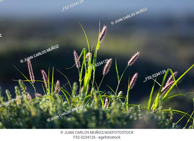 Flora, Famara, Lanzarote Island, Canary Islands, Spain, Europe
