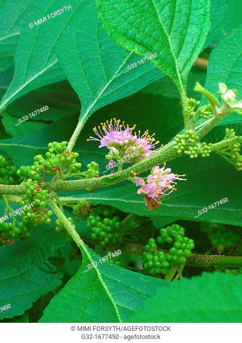 Callicarpa americana, also known as American Beauty berry and French Mulberry, in bloom