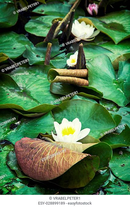 Beautiful blooming water lilies in the summer garden. Natural background