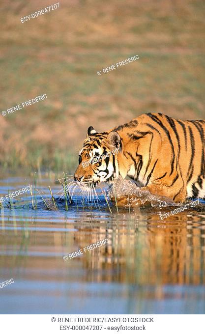 Bengal Tiger (Panthera tigris tigris), captive. India