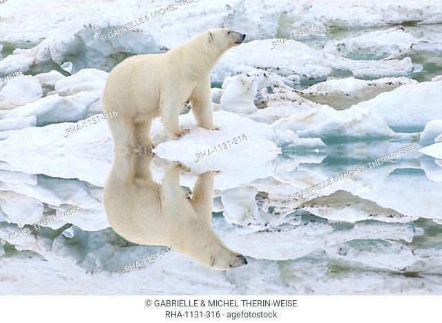 Female polar bear reflecting in the water (Ursus Maritimus), Wrangel Island, UNESCO World Heritage Site, Chuckchi Sea, Chukotka, Russia, Eurasia