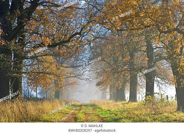 common oak, pedunculate oak, English oak (Quercus robur), old oak alley in morning fog in autumn, Germany, Hesse, Beberbeck