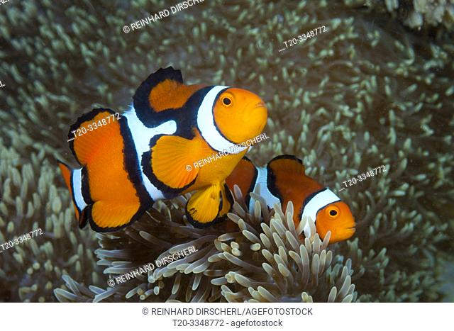 Pair of Clown Anemonefish, Amphiprion percula, Tufi, Solomon Sea, Papua New Guinea