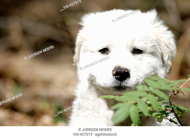 06.05.2007, Germany, North Rhine-Westphalia, Dorsten: Curious young Abruzzen Abruzzese dog in the nature. - Dorsten, Nordrhein-Westfalen, GERMANY, 06/05/2007