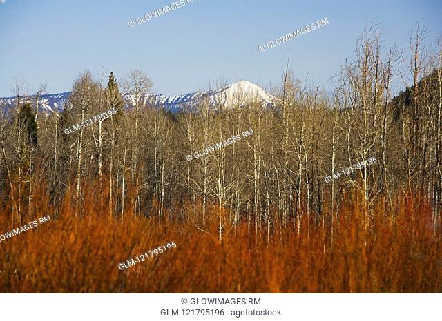 Trees in autumn with mountains in the background, Grand Teton National Park, Wyoming, USA
