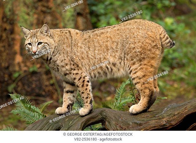 Lynx, Northwest Trek Wildlife Park, Washington