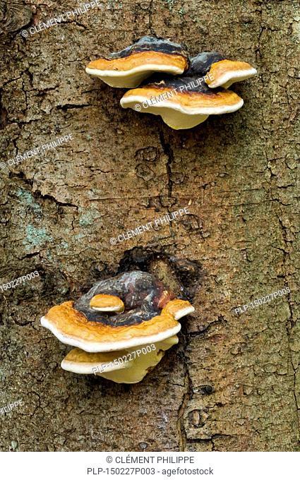 Late fall polypore / resinous polypore / benzoin bracket (Ischnoderma resinosum) on tree trunk