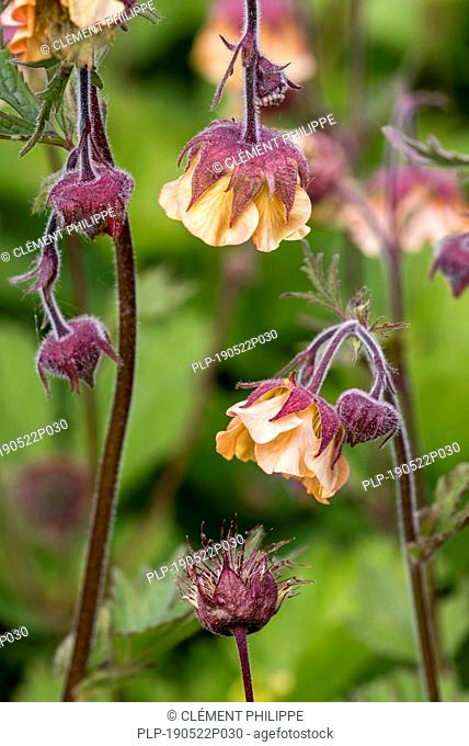 Scarlet avens / Chilean avens / Double Bloody Mary / Grecian rose (Geum chiloense / Geum quellyon) in flower, native to Chile