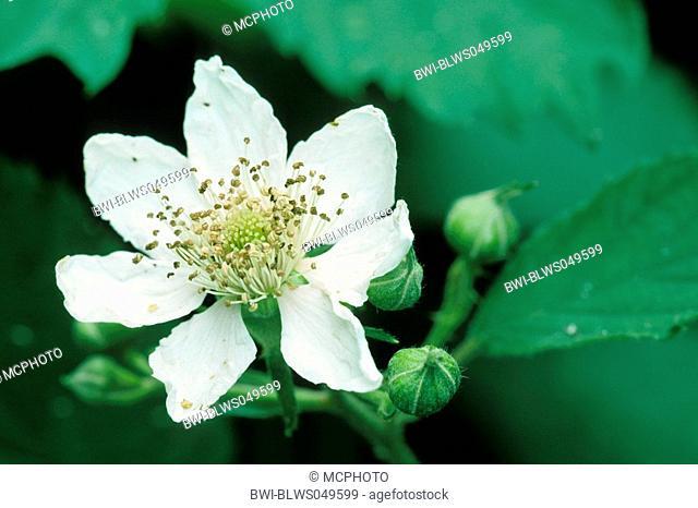 shrubby blackberry Rubus fruticosus, flower, Germany