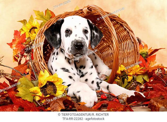 lying Dalmatian puppy