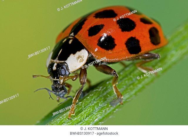 multicoloured Asian beetle (Harmonia axyridis), eating a plant louse, Germany, North Rhine-Westphalia