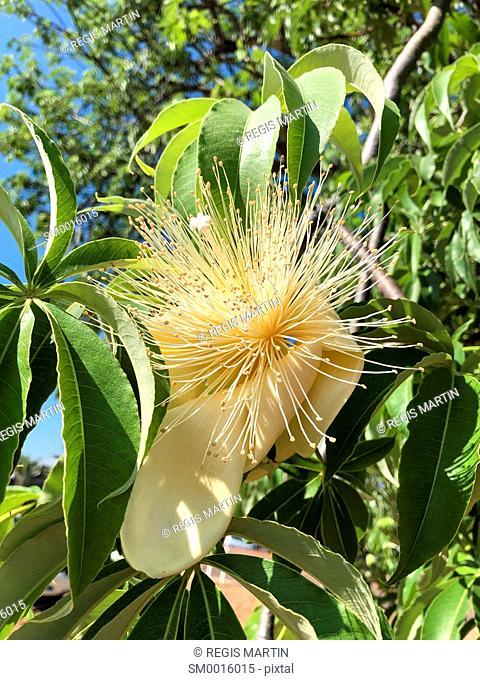 Baobab tree adansonia gregorii flower