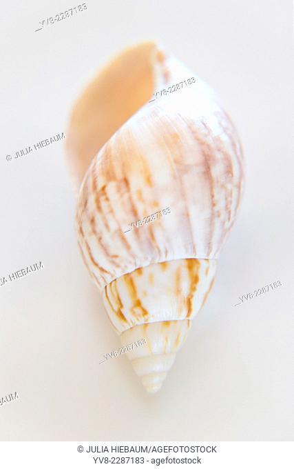 Rusty Dove shell