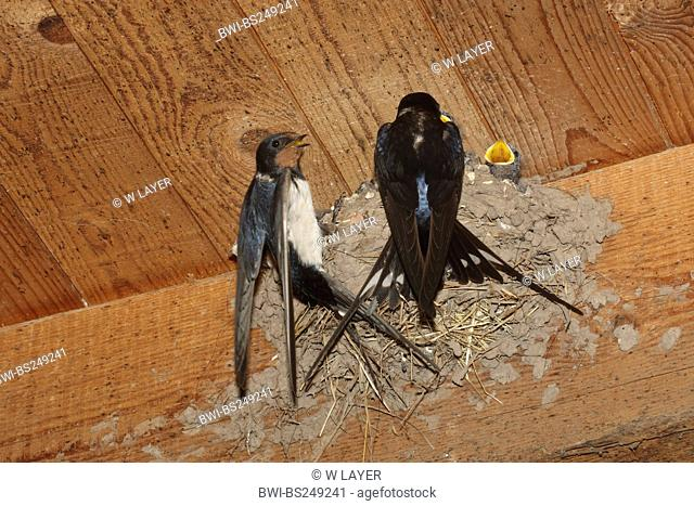 barn swallow Hirundo rustica, couple at theire nest at the ceiling of a stable
