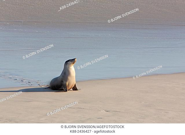 Australian Sea Lion (Neophoca cinerea). Seal Bay Conservation Park, Kangaroo Island, South Australia