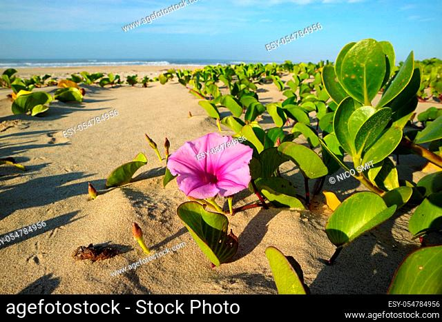 Beach morning glory (Ipomoea pes-caprae) with colorful flower, South Africa