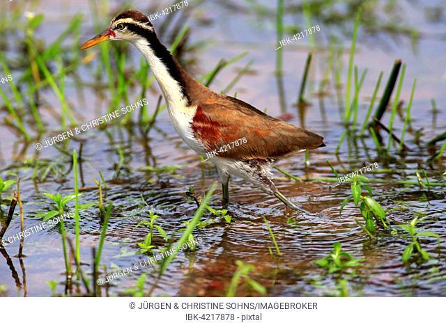 Wattled jacana (Jacana jacana), juvenile, foraging in the water, Pantanal, Mato Grosso, Brazil