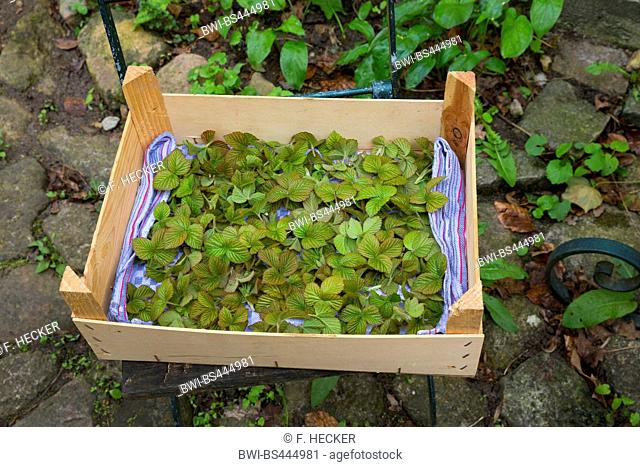 shrubby blackberry (Rubus fruticosus agg.), young leaves, collected in a box, Germany