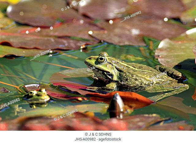 Edible Frog, Green Frog, Common Frog, Mannheim, Germany, Europe, in water