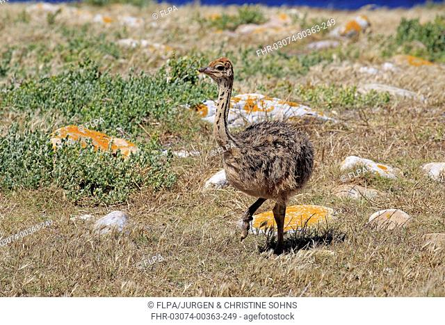 Southern Ostrich (Struthio camelus australis) chick, walking on coastal fynbos, Table Mountain N.P., Cape of Good Hope, Western Cape, South Africa, November