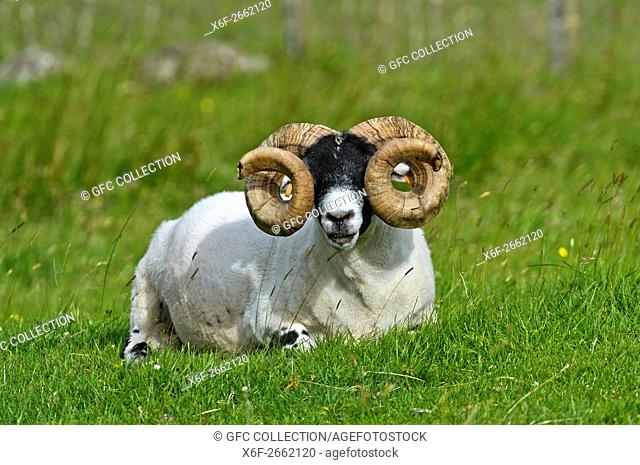 Scottish Blackface sheep, ram, Isle of Skye, Inner Hebrides, Scotland, United Kingdom
