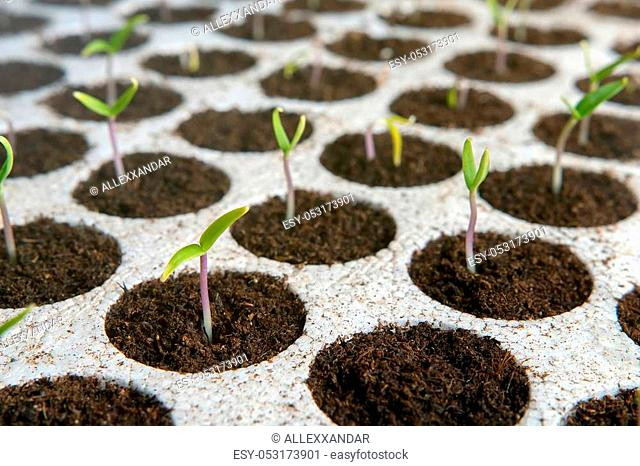Closeup seedlings potted in peat tray. Young seedlings in springtime. New life