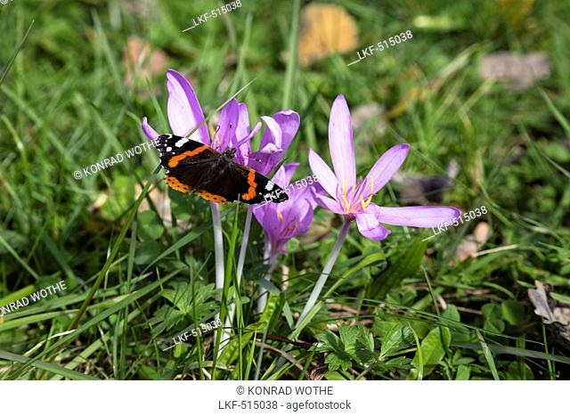 Meadow Saffron, Colchicum autumnale, and Red Admiral, Vanessa atalanta, Bavaria, Germany