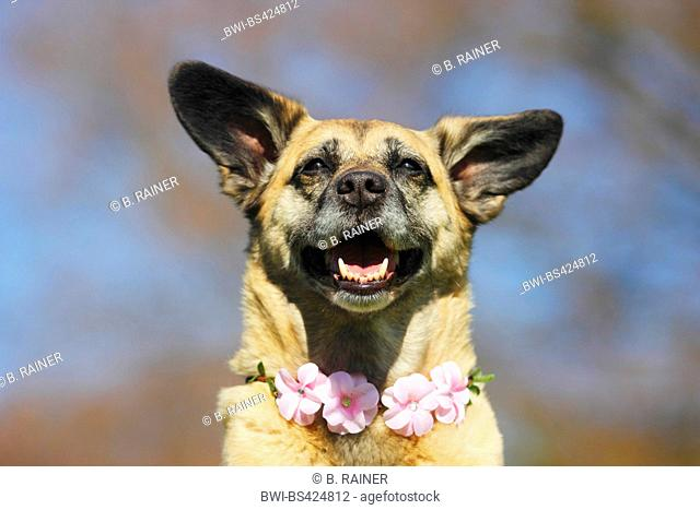 mixed breed dog (Canis lupus f. familiaris), Malinois-mixed breed she-dog with a blossom-dog necklace, portrait, Germany