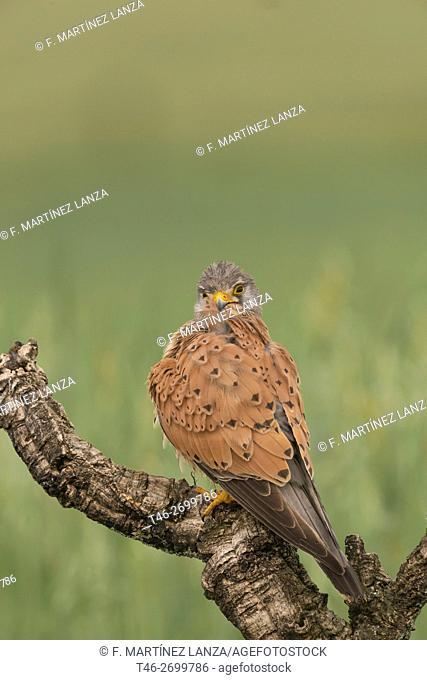 kestrel (Falco tinnunculus), Photographed in Calera y Chozas Toledo
